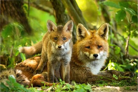 Enchanting red fox, vulpes vulpes, family resting in green summer forest near den. Little cub standing close to its lying mother between trees at sunrise. Concept of animal proximity. Archivio Fotografico