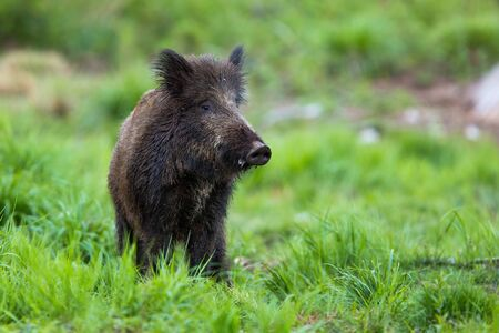 Shy wild boar, sus scrofa, standing on a meadow at dusk and looking from front view. Careful mammal with long dark fur on glade in summer nature from low angle view.