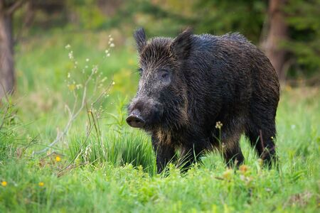 Adult wild boar, sus scrofa, with wet fur on the wildflower meadow. Impressive hog with big snout grazing on the forest clearing. Wild swine in the green environment. Dangerous animal on the walk.