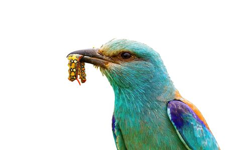 Close-up of vivid european roller, coracias garrulus, holding a colorful insect maggot in beak isolated on white background. Bird with blue plumage with a catch of nymph in close-up cut out on blank. 版權商用圖片