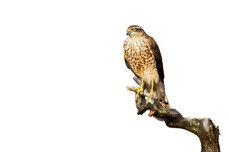 Attentive eurasian sparrowhawk, accipiter nisus, sitting on bough and looking into camera isolated on white background. Bird of prey perched from front view cut out on blank. 版權商用圖片