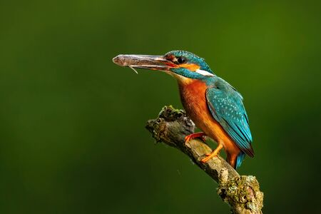 Elegant common kingfisher, alcedo atthis, stretching forward and holding a fish in beak in summer nature at sunrise. Exotic looking wild animal with colorful plumage with copy space.