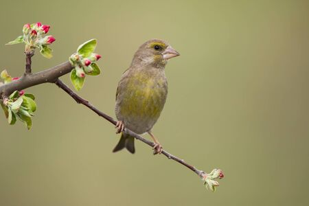 Male european greenfinch, chloris chloris, sitting on twig with red flowers and facing camera. Songbird with brown and yellow feathers perching from front view with blurred background.