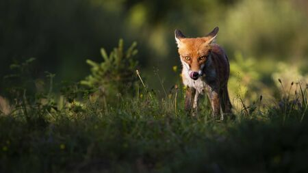 Focused red fox, vulpes vulpes, staring into camera and licking mouth in summer at sunset. Attentive mammal standing near shadow from front view with copy space.
