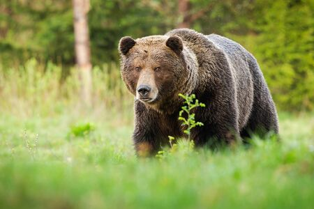 Surprised brown bear, ursus arctos, male coming closer on green glade in summer nature. Shocked male predator with long fur and large head facing camera. Stock Photo