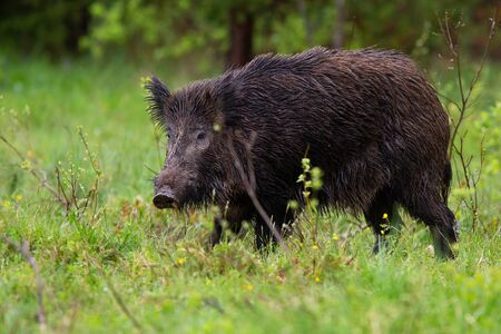 Threatening wild boar, sus scrofa, going on glade in summer evening from side view. Wet mammal with long fur walking on meadow with green grass. Animal wildlife in wilderness. Banco de Imagens
