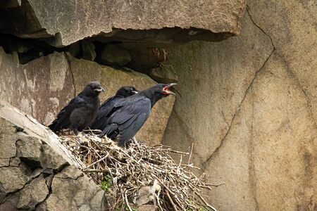 Common raven, corvus corax, juvenile chicks sitting on nest in mountainside and waiting to be fed. Young bird with dark black feathers calling with open beak in rocky nature environment.