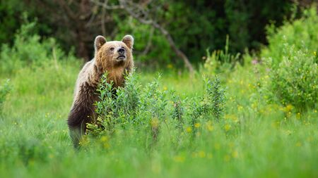 Interested brown bear, ursus arctos, sniffing for scents on meadow and hiding behind bush. Animal wildlife scenery with alert mammal in summer nature.