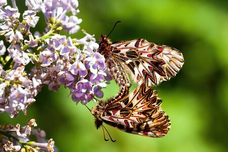Two southern festoons, zerynthia polyxena, mating on violet flower in summer nature. Pair white courting in sun from side. Pair of butterflies courting with wings closed from side view.