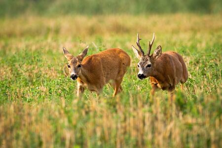 Couple of roe deer, capreolus capreolus, running on stubble field with green clover in rutting season. Bonding ritual of male and female mammal in nature. Animal wildlife.