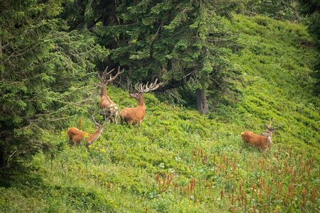 Herd of disturbed red deer, cervus elaphus, stags with growing new antlers looking behind in mountains. Numerous group of hoofed mammals in natural environment. Banco de Imagens