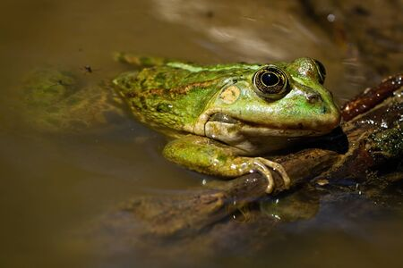 Adorable edible frog, pelophylax esculentus, lying on swamp in the summertime. Close-up of colorful amphibian resting in marsh. Green animal holding wood. Reklamní fotografie