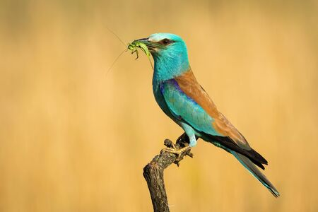Alert european roller, coracias garrulus, looking into camera and holding green grasshopper in beak on twig summer nature. Blue and brown bird after hunting insects in breeding season.