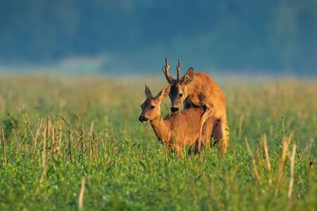 Couple of roe deer, capreolus capreolus, copulating on meadow in the summer. Buck and doe mating in rutting season. Two wild animals pairing on the field at sunrise.