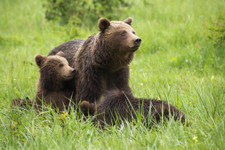 Brown bear,ursus arctos, family resting on meadow during the summer. Mammal mother with cubs sitting in grass with blurred background. Wild animals lying on field. Stock Photo