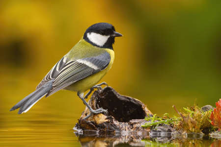 Colorful Great tit, parus major, sitting on wood above water pond in autumn. Little bird resting in nature with blurred background . Wild small animal near lake.