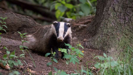 European badger, meles meles, standing in forest on the ground near roots of a tree in summer evening. Nocturnal animal looking to the camera from front view. Wild mammal in natural environment. 写真素材