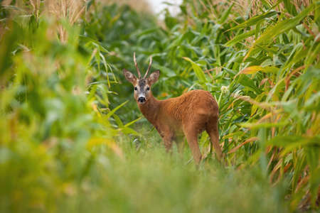Roe deer, capreolus capreolus, buck looking back in corn field during the summer. Male mammal with antlers staring to camera in fresh farmland. Wild animal standing in nature.