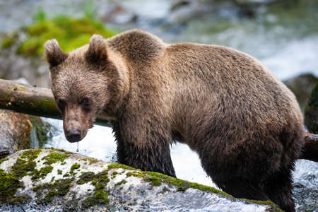 Majestic brown bear, ursus arctos, standing on the rock in river. Curious mammal staring on rock from side. Wild animal standing on mossy stone in woodland with water stream in background.