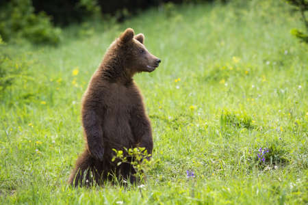 Juvenile brown bear, ursus arctos, standing on rear legs on green meadow in summertime. Magnificent predator observing surrounding upright in grass. Large animal looking from grassland.