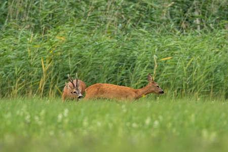 Roe deer, capreolus capreolus, male sniffing female in rutting season on meadow. Roebuck following doe on field. Pair of animals walking on grass in summertime. Banco de Imagens