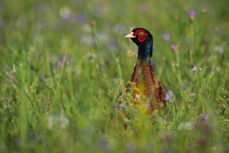 Common pheasant, phasianus colchicus, standing on meadow in summertime. Colorful gamebird looking on field with blurred background. Wild bird observing in wildflowers with copy space.