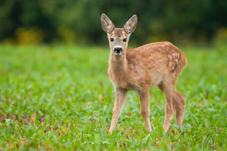 Young roe deer, capreolus capreolus, standing on meadow in summer nature. Baby animal looking to the camera on field. Little fawn watching on grassland.