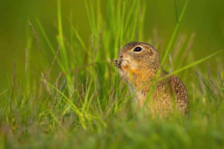 European ground squirrel, spermophilus citellus, sitting in grass during the summer. Little souslik gnawing on field. Wild animal observing surrounding.