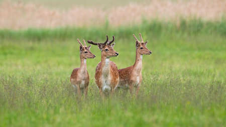 Three majestic fallow deer, dama dama, stags standing on meadow in summer. Spotted animals with antlers in velvet in green grass. Wild mammals watching on grassland.