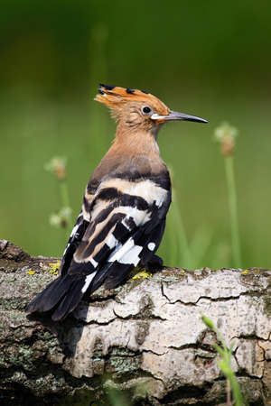 Young Eurasian hoopoe, upupa epops, sitting on tree trunk in summer. Little bird resting on tree with blurred background. Wild animal with crest observing on wood. 写真素材