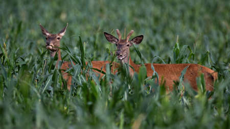 Two red deer, cervus elaphus, male and female standing in corn in summer. Pair of animals looking on field from side. Stag and hind hiding in farmland.