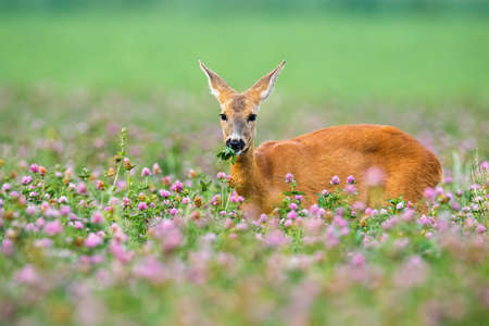 Roe deer doe, capreolus capreolus standing in clover with blooming flowers. Elegant mammal standing on field from side. Wild animal looking to the camera. 写真素材