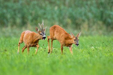 Pair of roe deer, capreolus capreolus, running on meadow in rutting season. Roebuck following doe in grass with blurred background. Animal male chasing female in field. Banco de Imagens