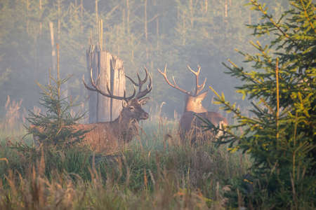 Two majestic red deer, cervus elaphus, stags standing in mist in the morning. Pair of male mammals looking in fog on meadow. Wild animals with large antlers observing in forest.