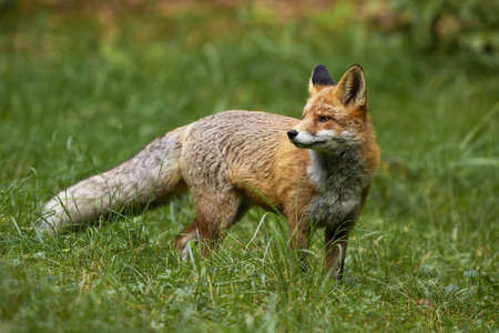 Wild red fox, vulpes vulpes, standing on meadow in summer nature. Curious predator with orange fur looking on grassland. Interested animal staring on field with blurred background. 写真素材