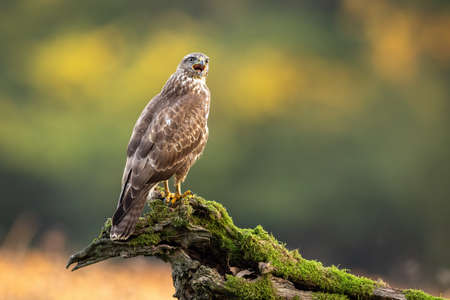 Majestic common buzzard, buteo buteo, sitting on branch in summer. Proud bird of prey screaming on bough in nature. Magnificent feathered animal looking on wood with moss. 写真素材