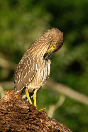 Young black-crowned night heron, nycticorax nycticorax, scratching on wood in summer nature. Juvenile bird with brown feather and yellow beak. Wild animal sitting on crust of tree.