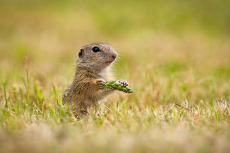 European ground squirrel, spermophilus citellus, holding ear in hand on field. Souslik sniffing standing in agriculture. Little animal looking from grain.