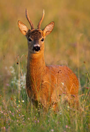Alert roe deer, capreolus capreolus, standing on meadow in summer nature at sunset. Vertical composition of roebuck looking on field from front view.
