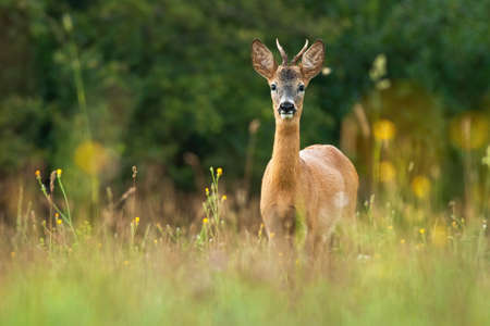 Roe deer, capreolus capreolus, buck standing on meadow with flowers in summertime nature. Roebuck looking to the camera on field. Wild animal with antlers watching from tall vegetation.