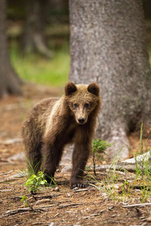 Young brown bear, ursus arctos, standing in forest in summer nature. Small animal looking to the camera in woodland. Vertical front view of Immature furry mammal.