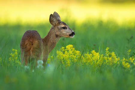 Roe deer doe, capreolus capreolus, standing on meadow in summer nature. Mammal female looking on field with yellow wildflowers from rear view.