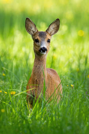 Young roe deer, capreolus capreolus, standing on meadow during the spring. Little fawn observing on field from front view in vertical composition. 写真素材