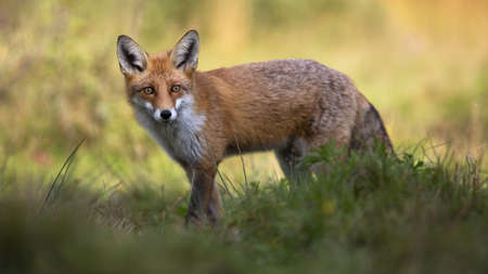 Red fox, vulpes vulpes, standing in grass and looking to the camera. Wild animal watching on field with blurred background. Predator staring from grassland.