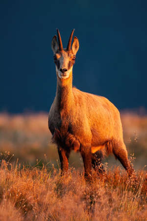 Adult tatra chamois, rupicapra rupicapra tatrica, looking to the camera in sunset. Wild animal watching in nature from front. Majestic mammal in summer mountains in vertical composition.