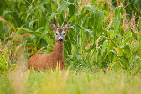 Roe deer, capreolus capreolus, buck standing in corn field during the summer. Male animal with antlers and orange fur in agricultural country looking to the camera from front.