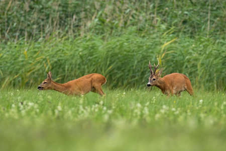 Two roe deer, capreolus capreolus, running on field in rutting season. Buck following doe on meadow in summer. Pair of wild animals sprinting on grass.