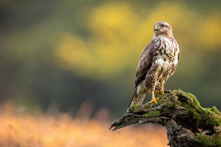 Impressive common buzzard, buteo buteo, sitting on branch in autumn with copy space. Dominance bird of prey observing on bough with moss. Feathered animal with white and brown plumage. 写真素材