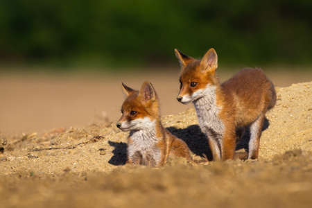 Red fox, vulpes vulpes, siblings standing on den during the summer. Pair of baby animals watching from hole in the ground with blurred background. Wild little cubs sitting on sand.