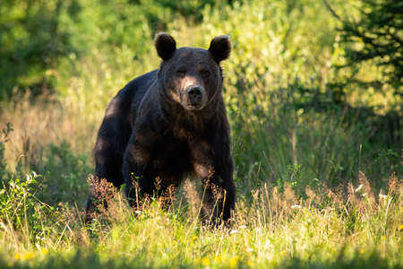 Majestic brown bear, ursus arctos, standing in forest in summer on a sunny day. Large wild animal looking to the camera in nature with shadow in background.
